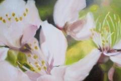 Cerisier-sauvage-1