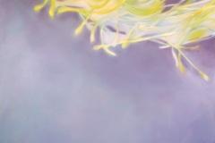 Iris-2-130x165